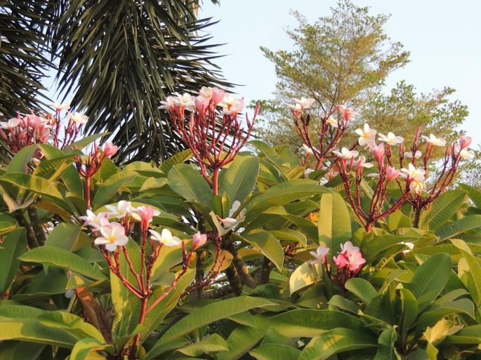 Lao Flowers (11)