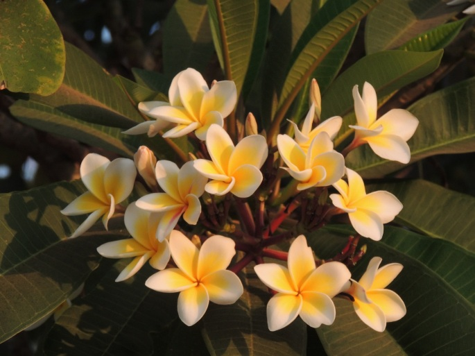 Lao Flowers (12)