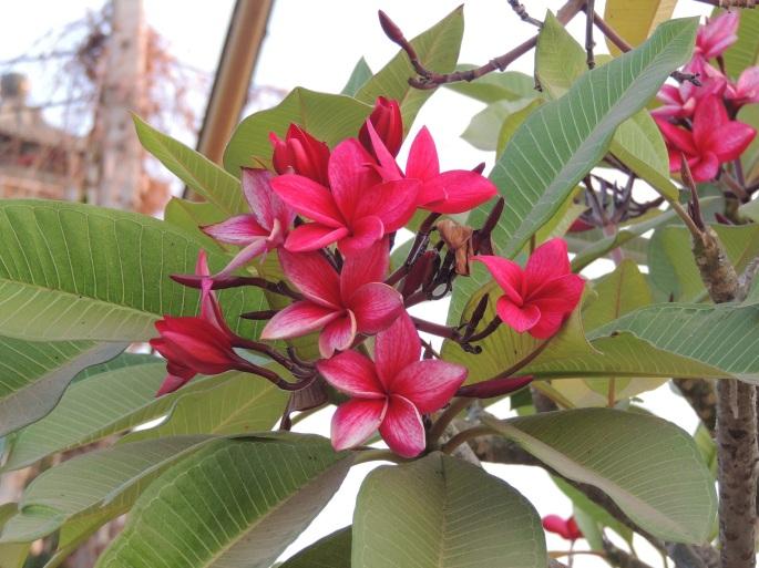 Lao Flowers (7)