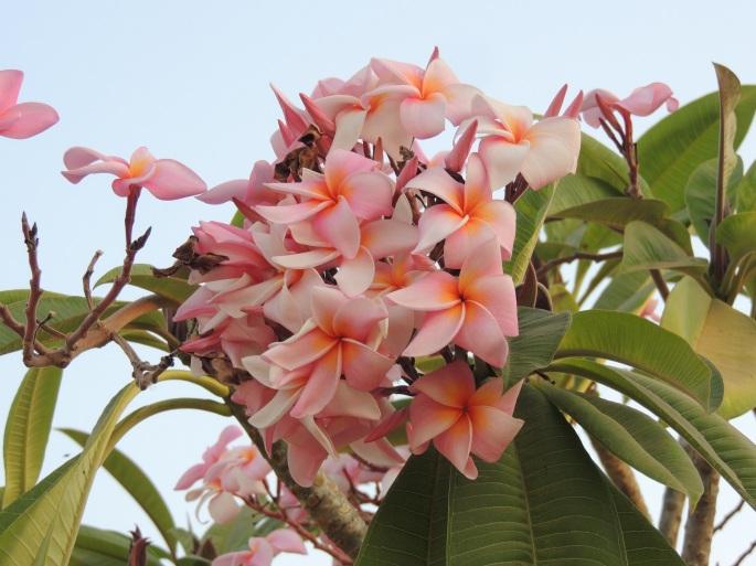 Lao Flowers (8)