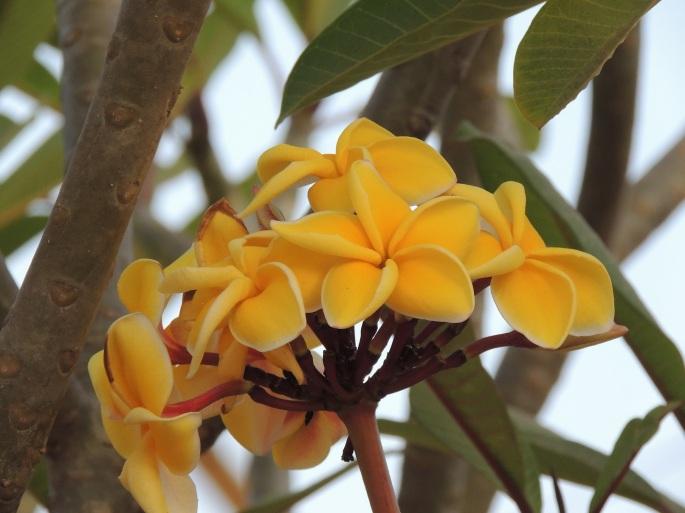 Lao Flowers (9)